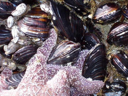 Mussels_ochre_closeup_1