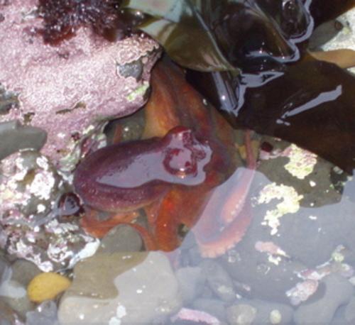 Octopus6_11