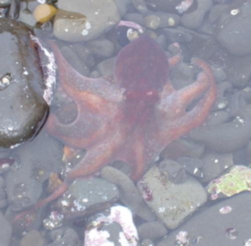 Octopus7_12